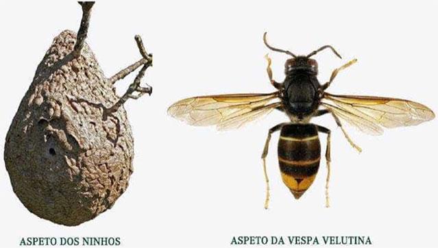 VespaVelutinaVespaAsitica_C_0_1591346249.